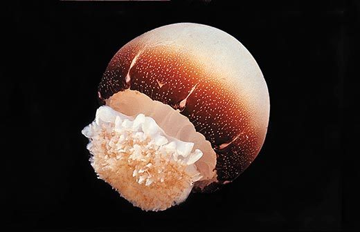 Cannonball Jellyfish5